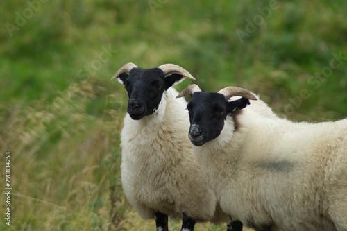 Two Scottish Blackface Sheep in the hills of the Scottish Borders, Scotland, UK Canvas Print
