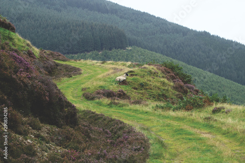 Photo A Scottish blackface sheep sitting on a path in the hills of the Scottish Border