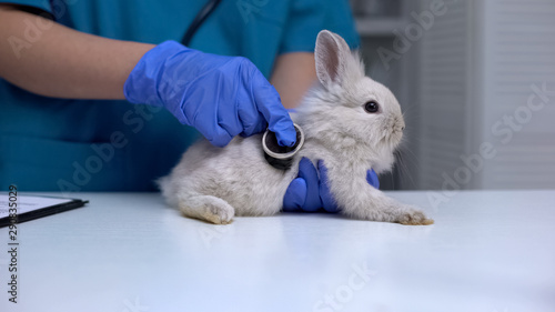 Vet listening rabbit stomach with stethoscope, diagnosing digestive diseases Canvas Print