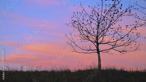 Obraz na plátně  Lonely autumn tree in a field, silhouette on sunset, nature fall background