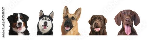 Obraz Set of adorable dogs on white background - fototapety do salonu