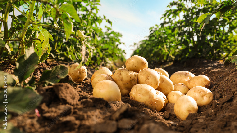 Fototapeta Pile of ripe potatoes on ground in field
