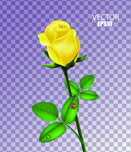 Beautiful Yellow Rose Isolated With Morning Dew And Ladybug On Transparent Background, Flower Gift, Garden Flower, Rose Bud, 3d Design. Vector Illustration.