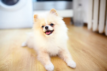 2-month Old Pomeranian Spitz Puppy At Home