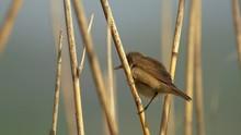 Eurasian Reed Warbler (Acrocephalus Scirpaceus) Singing