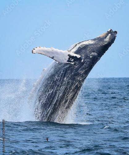 Breaching humpback whale Billede på lærred
