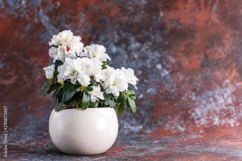 Canvas Prints Azalea Azalea. Rhododendron. Blooming white azalea bush of a textured background.