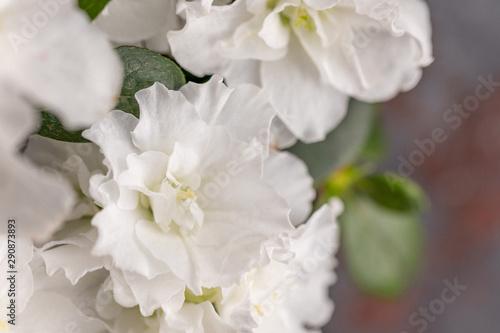 Foto op Canvas Azalea Azalea. Rhododendron. Blooming white azalea bush of a textured background.