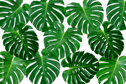 Fototapety, obrazy: Wallpaper Pattern of Philodendron Split Green Leaves Monstera deliciosa Foliage . Tropical Rainforest Plant .