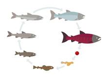 Salmon Fish Growth Set. Grow Up Circle Animation Progression. Aquaculture Industry Life Cycle.