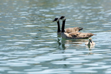 Two Canada Geese Swimming With Their Goslings