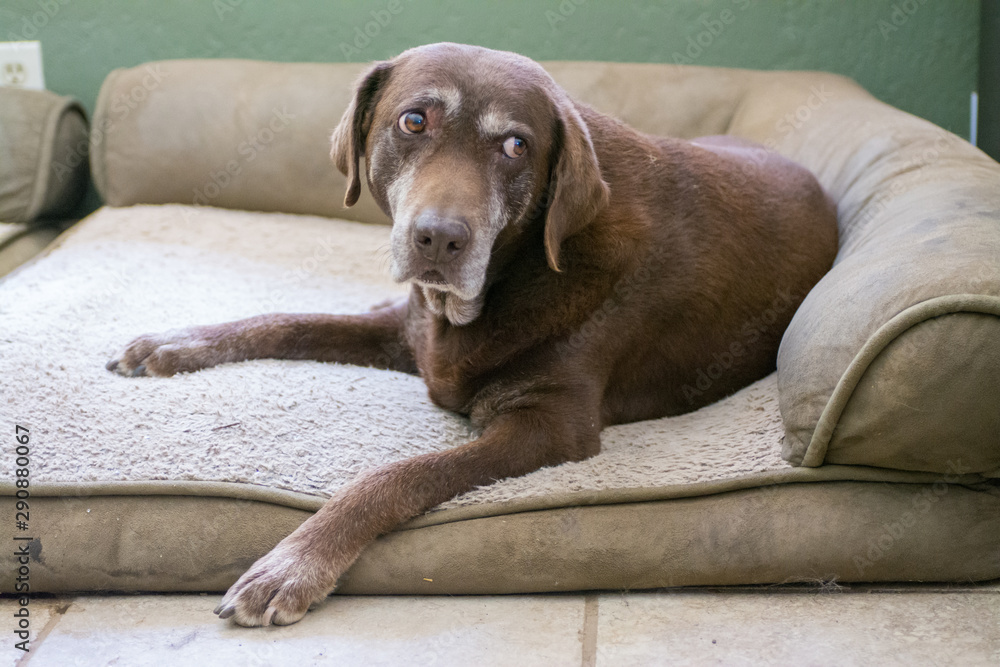Fototapety, obrazy: An old senior Chocolate Labrador Retriever dog surprised from sleep.