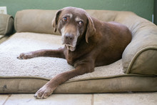 An Old Senior Chocolate Labrador Retriever Dog Surprised From Sleep.