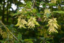 Seeds Of A Common Hornbeam Han...