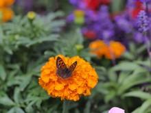 ベニシジミとマリーゴールドの花