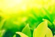 Leinwanddruck Bild - Green leaves closeup in the greenery garden background.