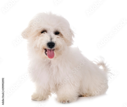 Bichon Frise in studio Canvas-taulu