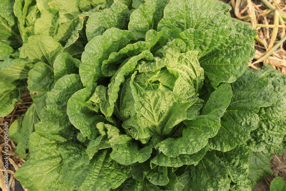 Fototapety, obrazy: Chinese cabbage and onion in growth at field