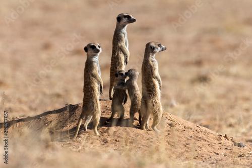 Suricate, Suricata suricatta, Parc national Kalahari, Afrique du Sud Tapéta, Fotótapéta