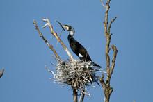 Great Cormorant Nesting Colony In Kopacki Rit, Croatia