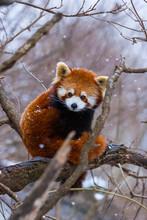 Red Panda (Ailurus Fulgens), A...