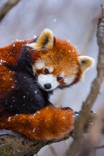 Red Panda (Ailurus Fulgens), Also Called Lesser Panda, Red Bear-cat, And Red Cat-bear