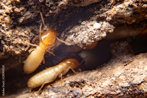 Fotografía Selective focus of the small termite on decaying timber