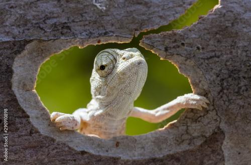 Photo sur Toile Grenouille chameleon in tree