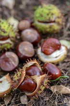 Aesculus Hippocastanum, Brown Horse Chestnuts, Conker Tree Ripened Fruits On The Ground