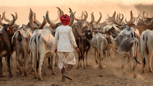 Rabari Herder In A Rural Villa...