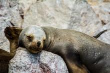 Sleeping Seal III