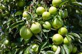 Farm harvest, ripe apples on branches