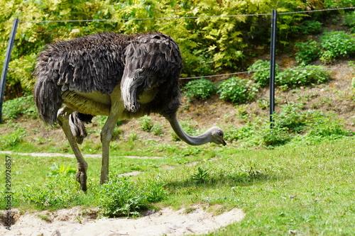 Garden Poster Ostrich Struisvogel