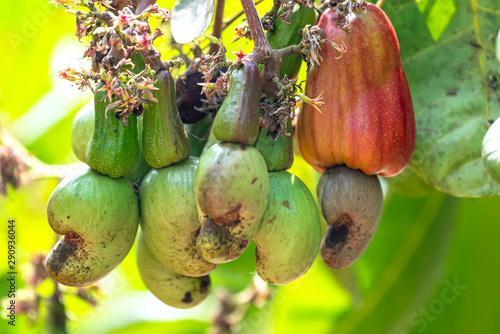 Cashew nut fruit or Anacardium occidentale on tree is about to ripen during the harvest Tapéta, Fotótapéta
