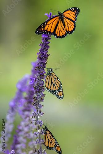 Monarch Butterfly trio, Danaus Plexippus, on blue salvia flowers, portrait