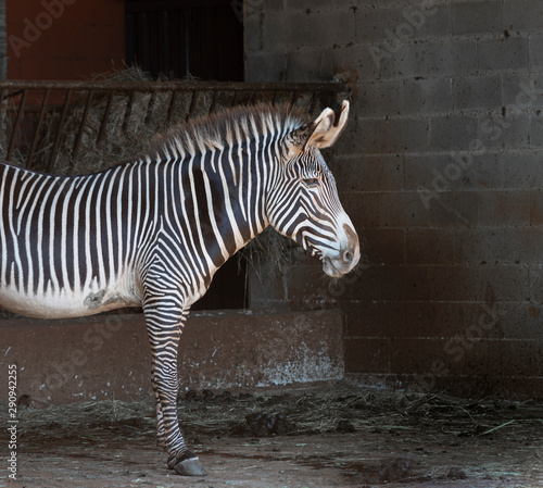 Photo Stands Zebra zebra on the stable