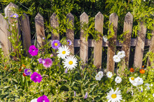 Beautiful Summer Flowers In The Country Side. A Rural Fence, Chamomiles And Creeper.