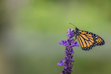 Monarch Butterfly, Danaus Plex...