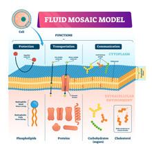 Fluid Mosaic Model Vector Illu...