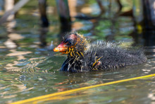 A Young Baby American Coot (Fulica Americana), Also Known As A Mud Hen, Is A Bird Of The Family Rallidae Swims To Its Mother With A Red Beak And Feathers.