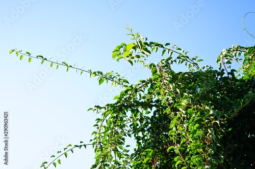 Prolific vine of the green baby kiwi fruit actinidia arguta Wallpaper Mural
