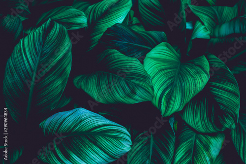 Fototapete - leaves of Spathiphyllum cannifolium, abstract green texture, nature background, tropical leaf