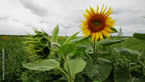 Fotomurales - Beautiful field of sunflowers in the wind on a bright cloudy summer day with sky on farm. Scenic landscape agricultural land. Beauty nature, agriculture.