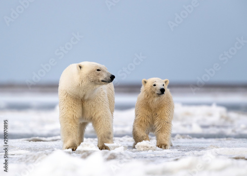 Foto op Aluminium Ijsbeer Polar Bear Mom with cub, Kaktovik, Alaska USA