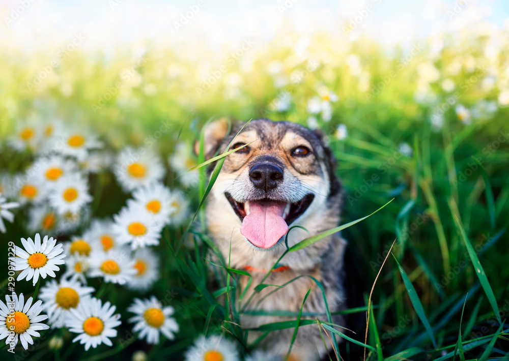 Fototapety, obrazy: portrait of cute dog with pretty open mouth and tongue sitting on summer Sunny warmth blooming meadow with daisies