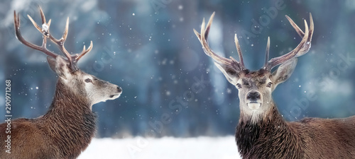 Photo sur Toile Cerf Noble deer male in winter snow forest. Winter christmas banner. Copy space.
