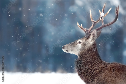 Poster Hert Noble deer male in winter snow forest. Winter christmas image. Copy space.