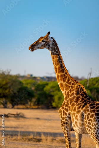 vertical portrait wild giraffe in south africa on safari game drive
