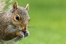 Eastern Gray Squirrel - Sciuru...