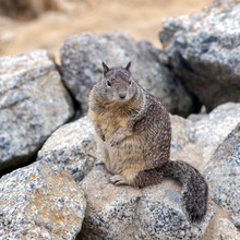 California Ground Squirrel (Ot...